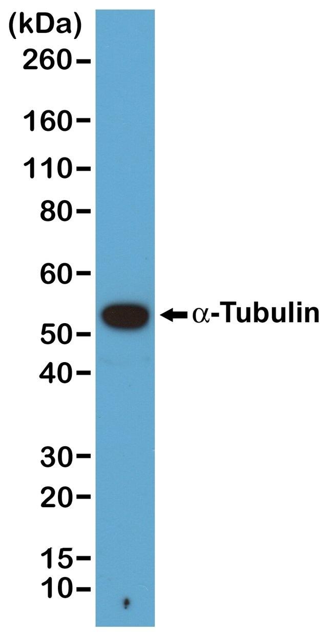 alpha Tubulin Rabbit anti-, Biotin, Invitrogen 50 µL; Biotin