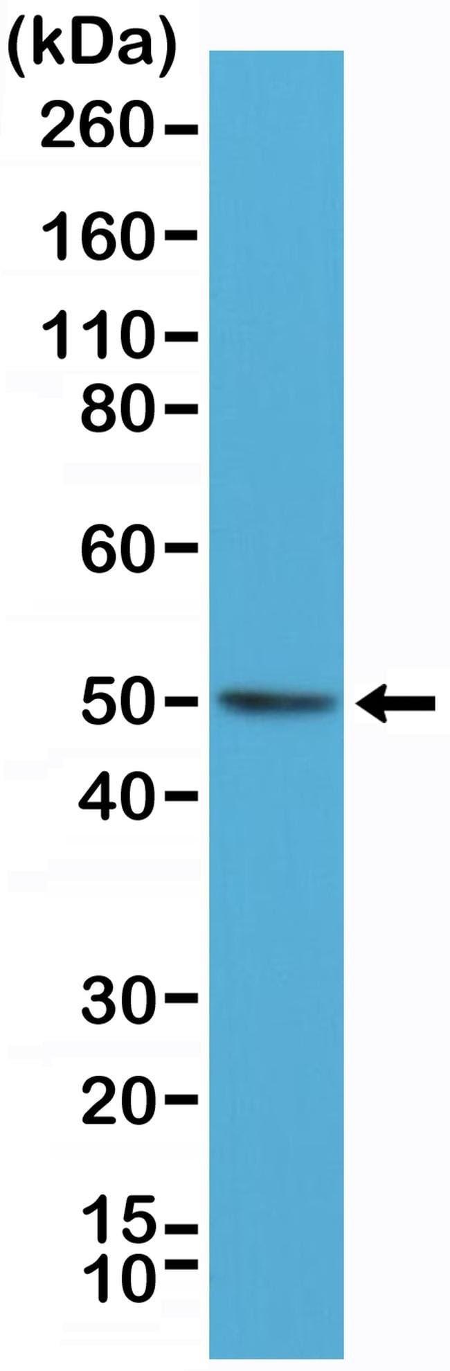 BAG1L Rabbit anti-Human, Invitrogen 100 µL; Unconjugated