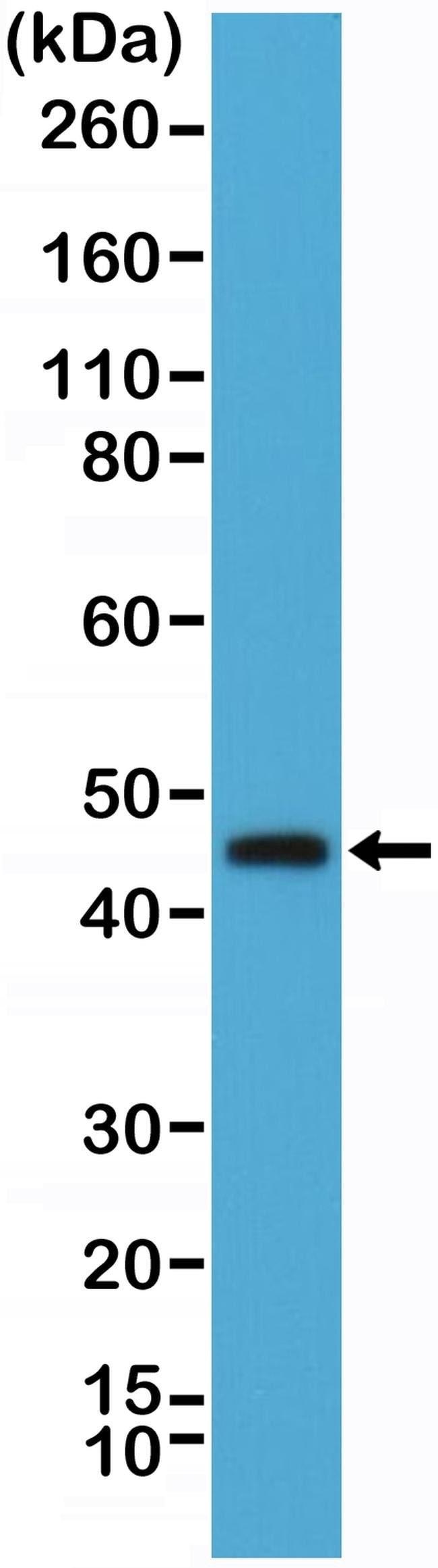 OX40 (CD134) Rabbit anti-Human, Invitrogen 100 µL; Unconjugated