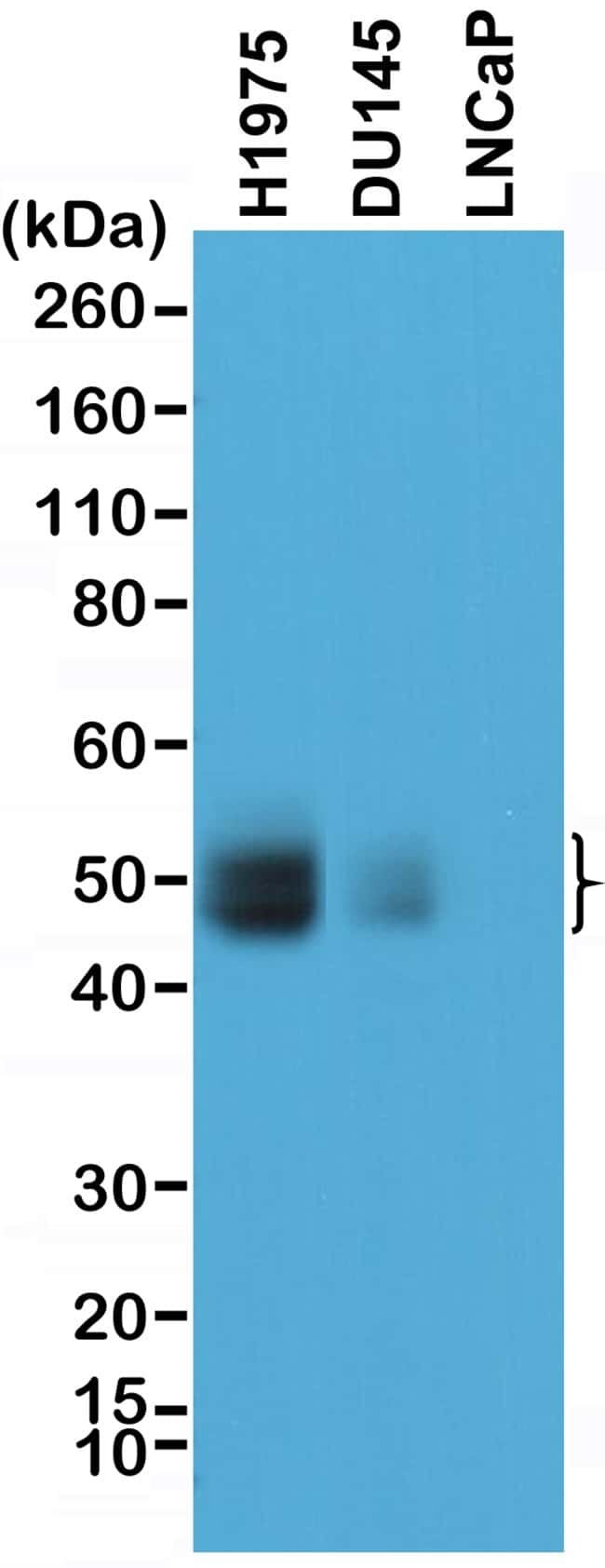 PD-L1 (CD274) Rabbit anti-Human, Invitrogen 100 µL; Unconjugated
