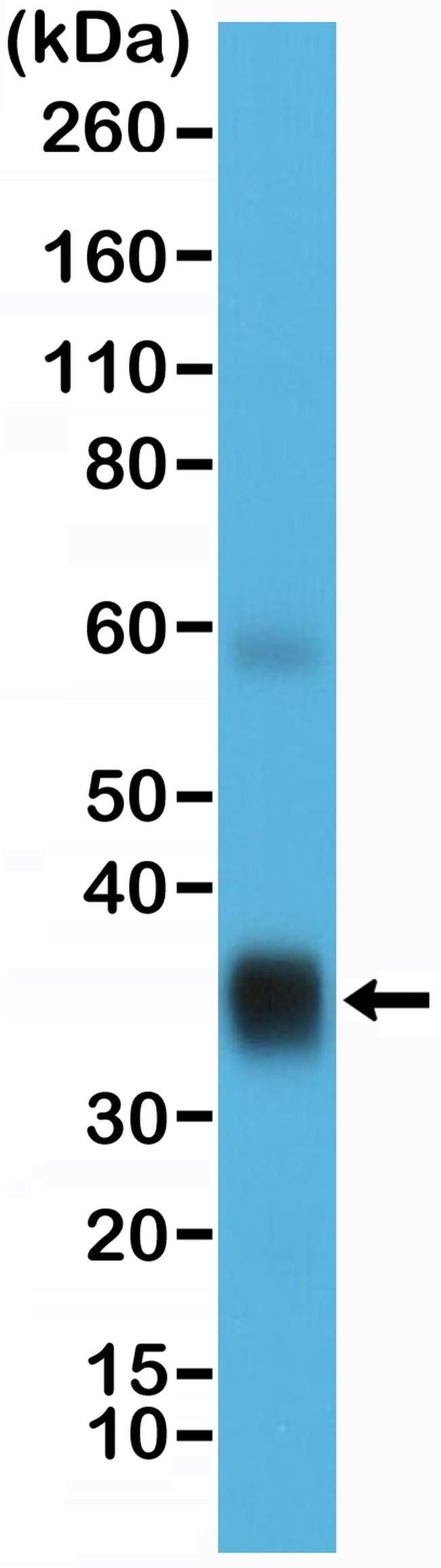 SFTPA1 Rabbit anti-Human, Invitrogen 100 µL; Unconjugated