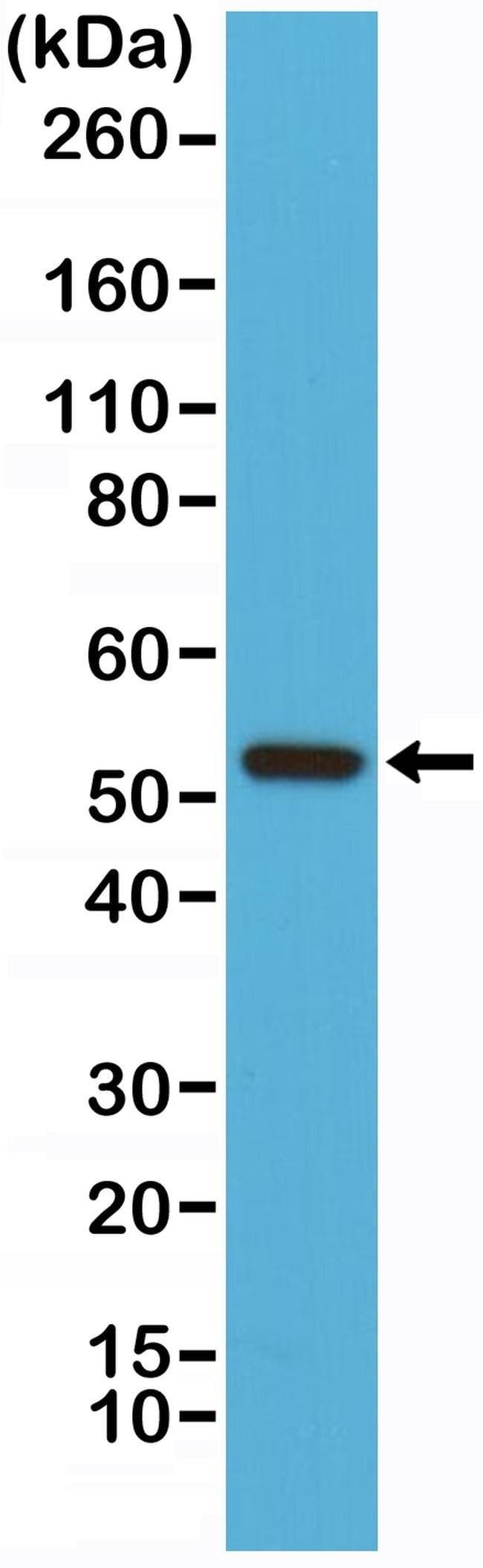 Cyclin B1 Rabbit anti-Human, Invitrogen 100 µL; Unconjugated