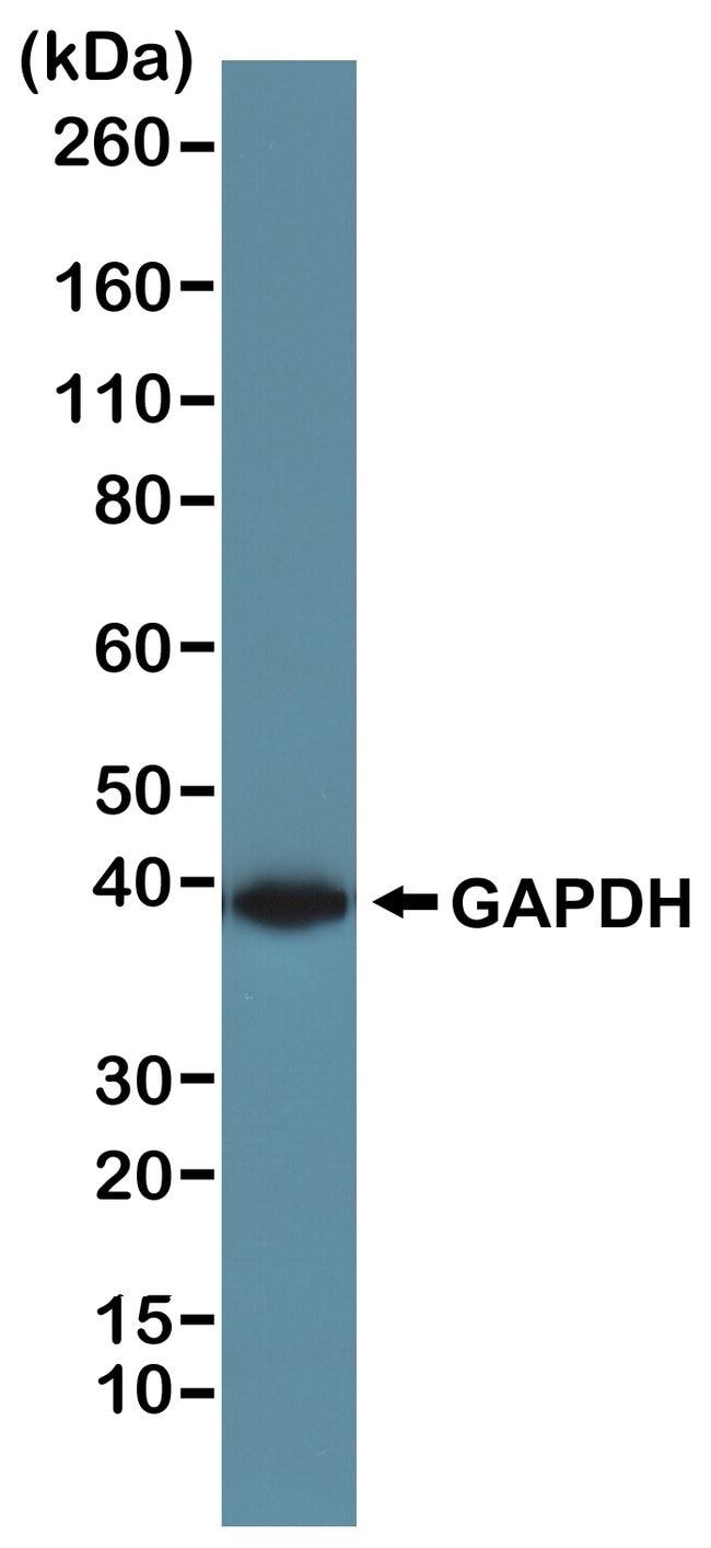 GAPDH Rabbit anti-, Invitrogen 100 µL; Unconjugated
