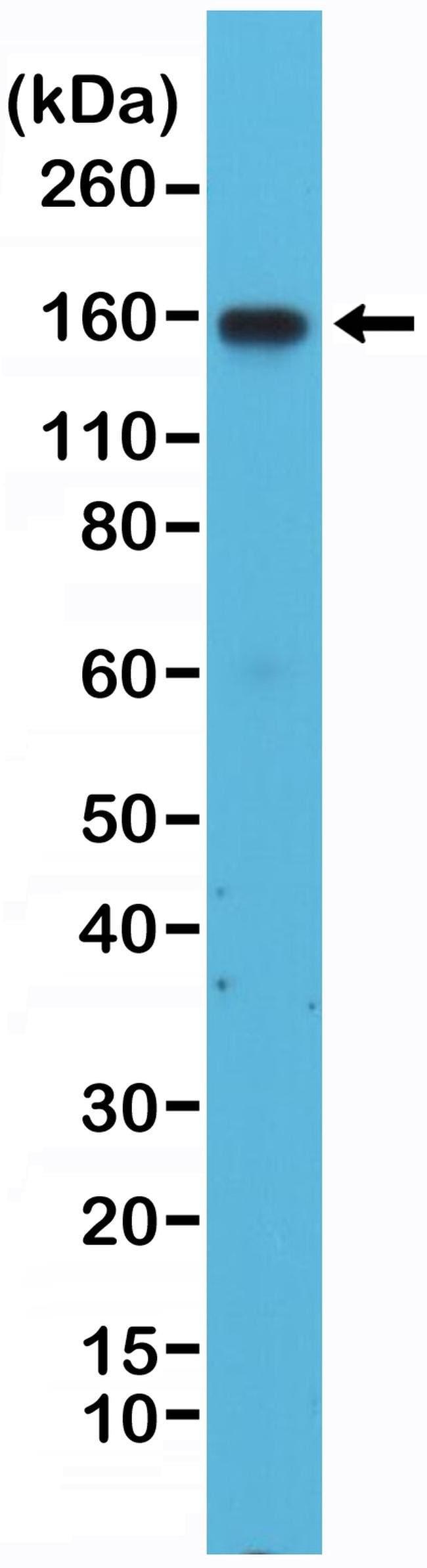 CD49d (Integrin alpha 4) Rabbit anti-Human, Invitrogen 100 µL; Unconjugated