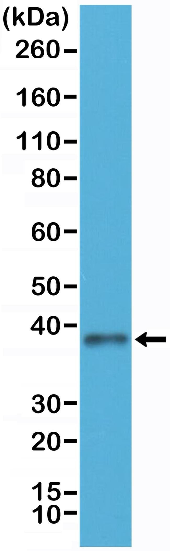 JAM-A (CD321) Rabbit anti-Human, Invitrogen 100 µL; Unconjugated