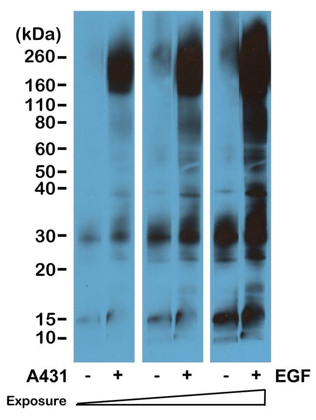 Phosphotyrosine Rabbit anti-Chemical, Invitrogen 100 µg; Unconjugated