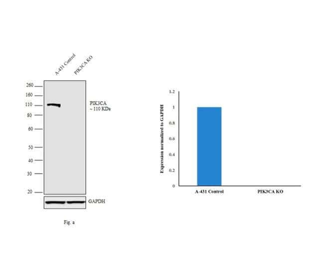 PIK3CA Rabbit anti-Bovine, Human, Mouse, Rat, Clone: H.843.0, Invitrogen™ 100 μL; Unconjugated Primary Antibodies Pi to Pm