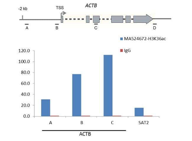 Acetyl-Histone H3 (Lys36) Rabbit anti-Human, Invitrogen 100 µg; Unconjugated