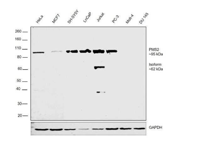PMS2 Mouse anti-Human, Clone: OTI2G5, Invitrogen 100 µL; Unconjugated