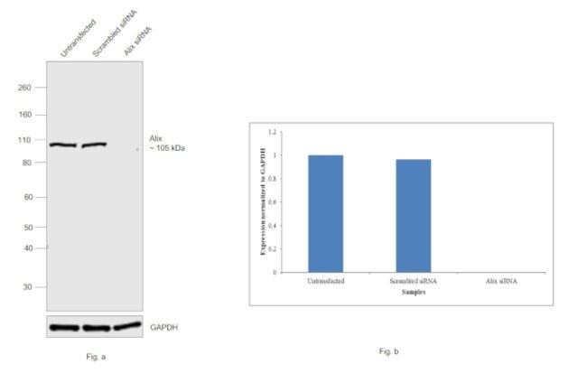 Alix Mouse anti-Human, Clone: OTI1A4, Invitrogen 100 µL; Unconjugated