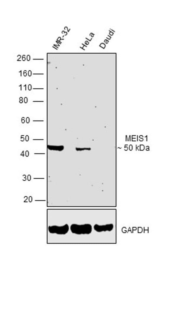 MEIS1 Mouse anti-Human, Mouse, Rat, Clone: OTI3G8, Invitrogen 100 µL;