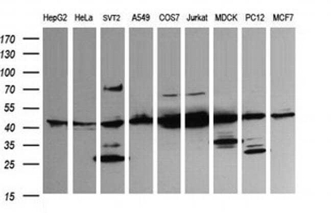 MAP2K1 Mouse anti-Canine, Human, Mouse, Rat, Clone: OTI2F1, liquid, TrueMAB