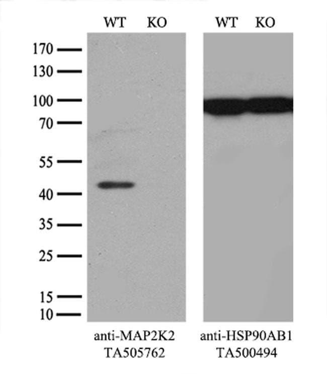 MAP2K2 Mouse anti-Canine, Human, Mouse, Clone: OTI5B4, liquid, TrueMAB