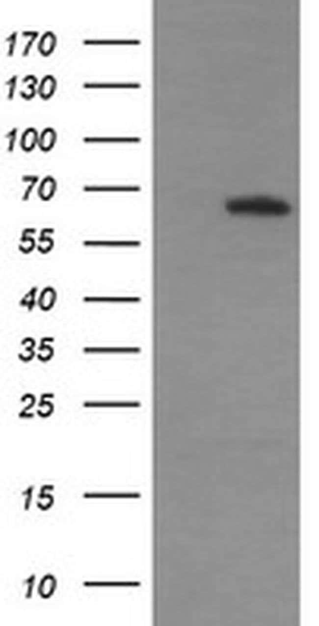 MAPK4 Mouse anti-Human, Clone: OTI2F4, liquid, TrueMAB  100 µL; Unconjugated