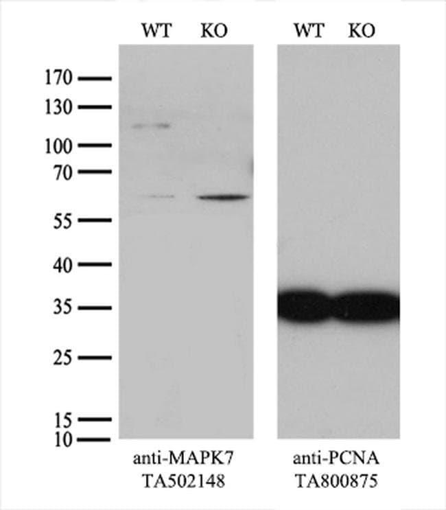 MAPK7 Mouse anti-Human, Clone: OTI2E2, liquid, TrueMAB  100 µL; Unconjugated