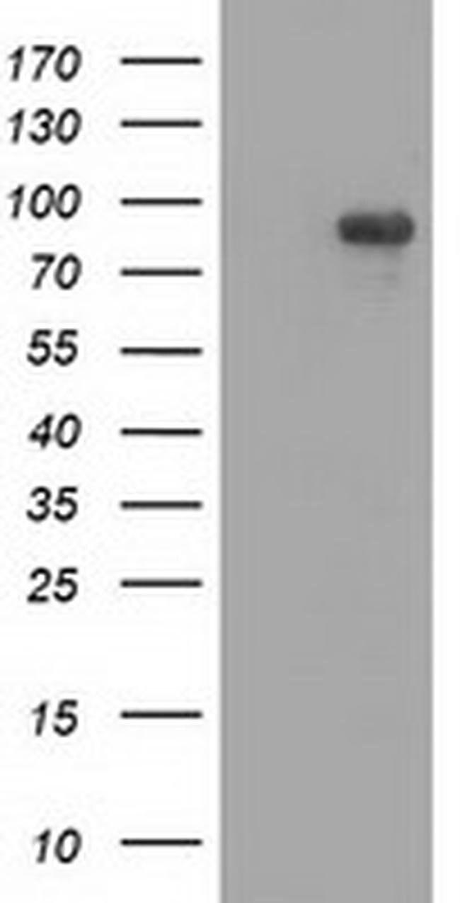 MAPK7 Mouse anti-Human, Clone: OTI4C1, liquid, TrueMAB  100 µL; Unconjugated