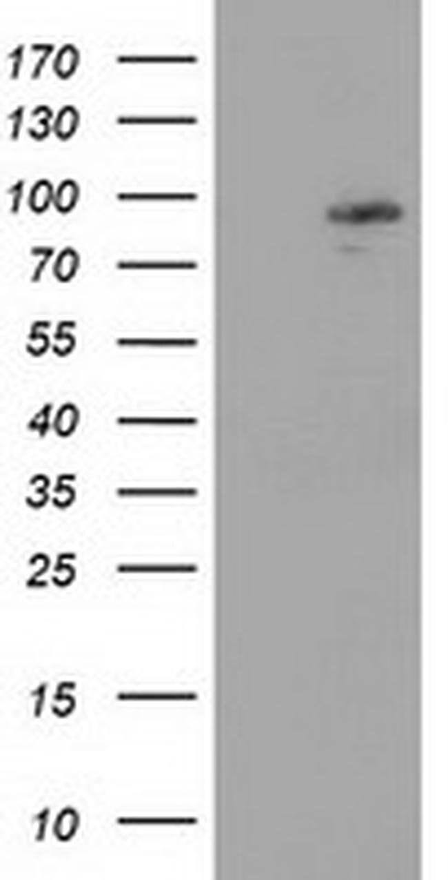 MAPK7 Mouse anti-Human, Clone: OTI5B9, liquid, TrueMAB  100 µL; Unconjugated