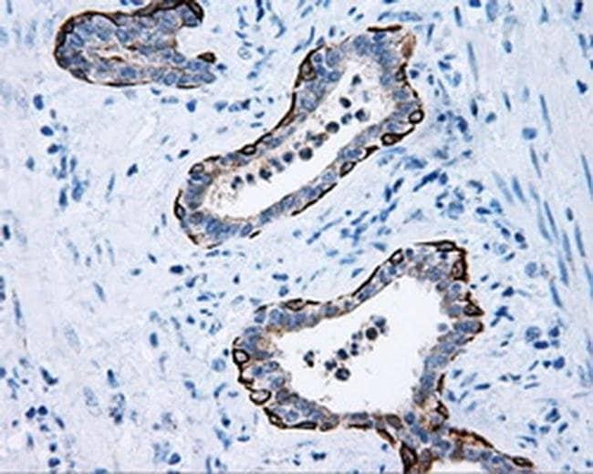 MCL1 Mouse anti-Human, Clone: OTI10F6, liquid, TrueMAB  100 µL; Unconjugated