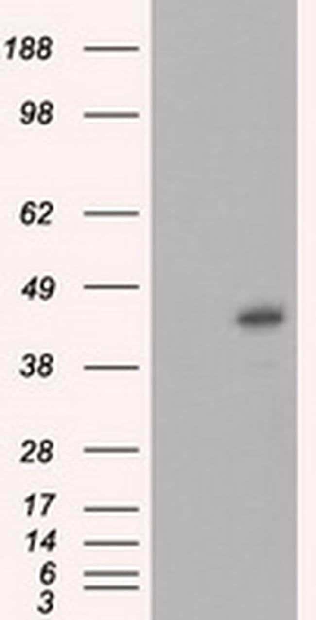 MCL1 Mouse anti-Human, Clone: OTI4B7, liquid, TrueMAB  100 µL; Unconjugated