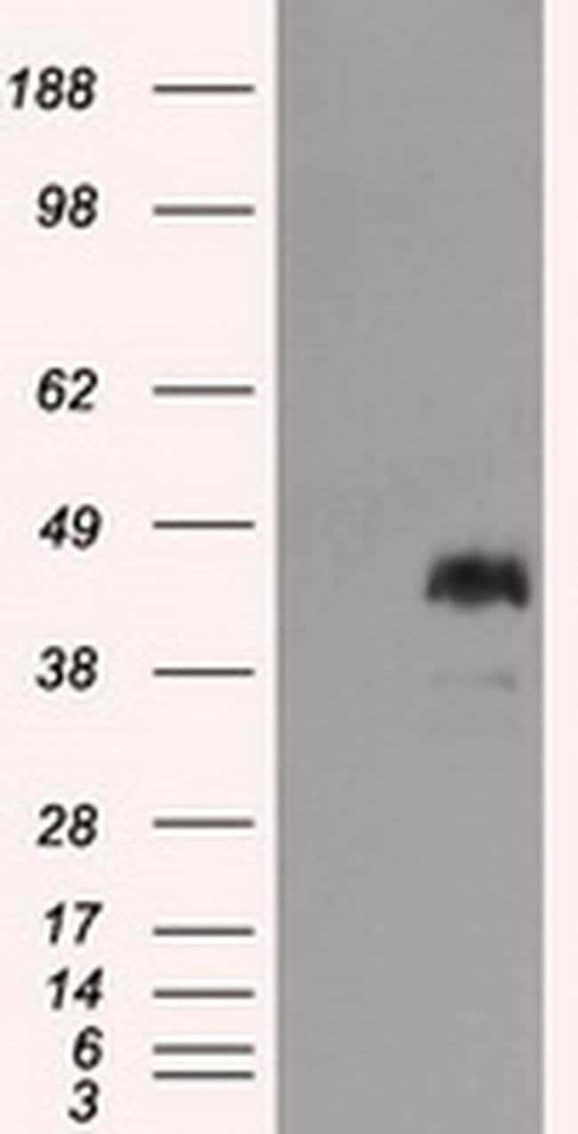MCL1 Mouse anti-Human, Clone: OTI9C9, liquid, TrueMAB  100 µL; Unconjugated