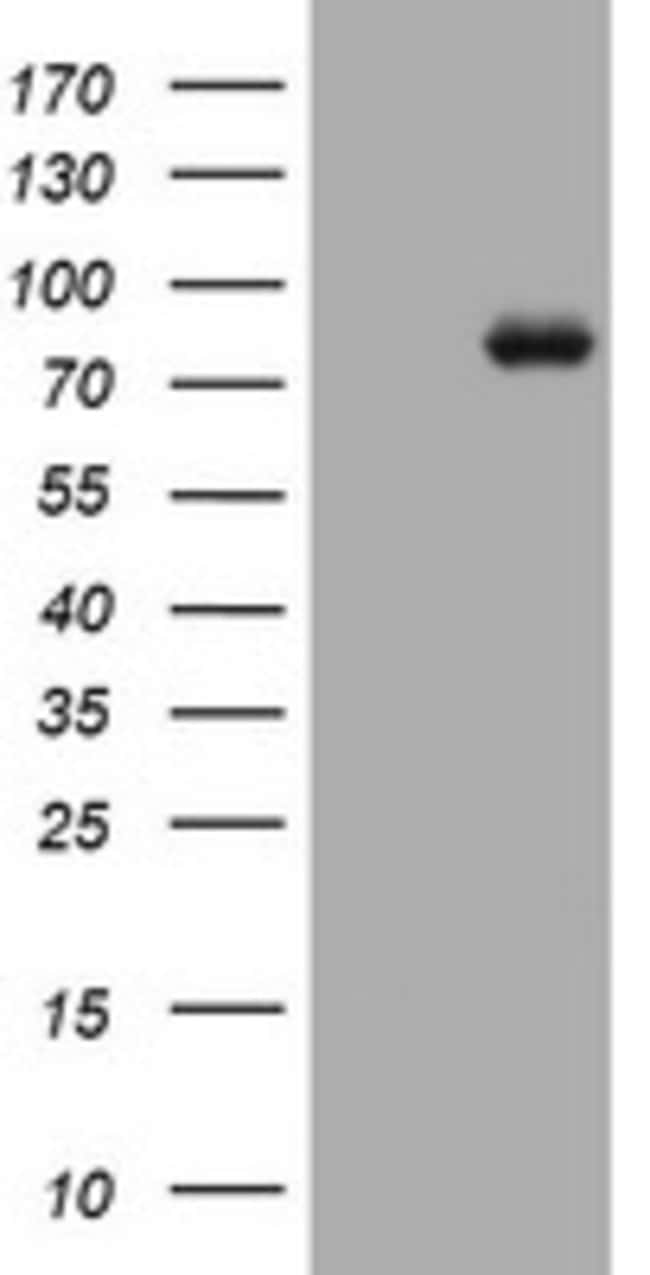 MFN1 Mouse anti-Human, Clone: OTI2E4, lyophilized, TrueMAB  100 µg;