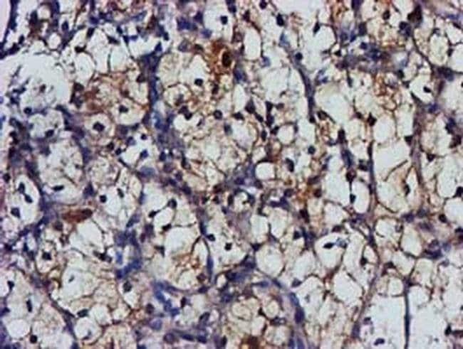 MGLL Mouse anti-Human, Clone: OTI1H2, liquid, TrueMAB  100 µL; Unconjugated