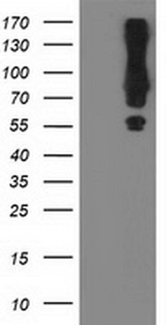 MGRN1 Mouse anti-Human, Clone: OTI3A6, liquid, TrueMAB  100 µL; Unconjugated