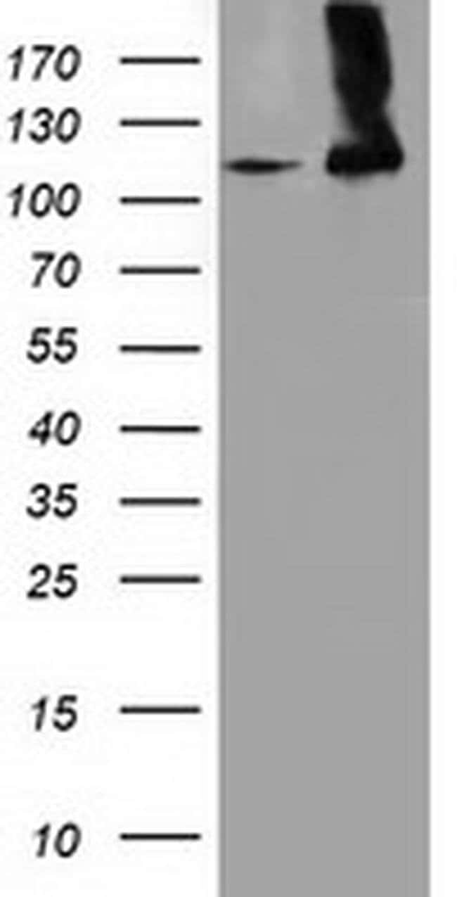 MICAL1 Mouse anti-Human, Clone: OTI5C3, liquid, TrueMAB  100 µL; Unconjugated