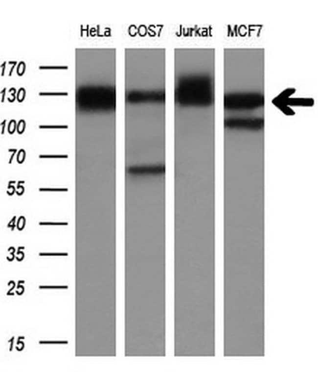 MICAL1 Mouse anti-Human, Clone: OTI4B1, liquid, TrueMAB  100 µL; Unconjugated