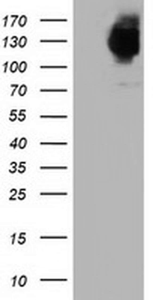 MICAL1 Mouse anti-Human, Clone: OTI3C6, liquid, TrueMAB  100 µL; Unconjugated