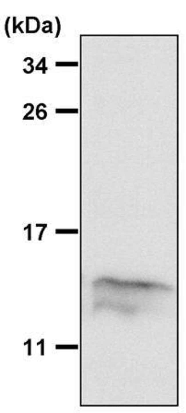 MIF Rabbit anti-Human, Mouse, Polyclonal, Invitrogen 100 µL; Unconjugated