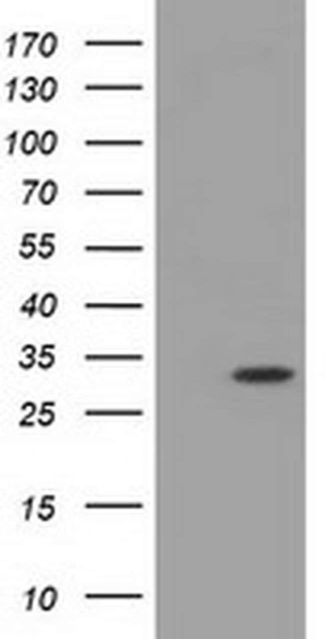 MIOX Mouse anti-Human, Clone: OTI2F4, liquid, TrueMAB  100 µL; Unconjugated