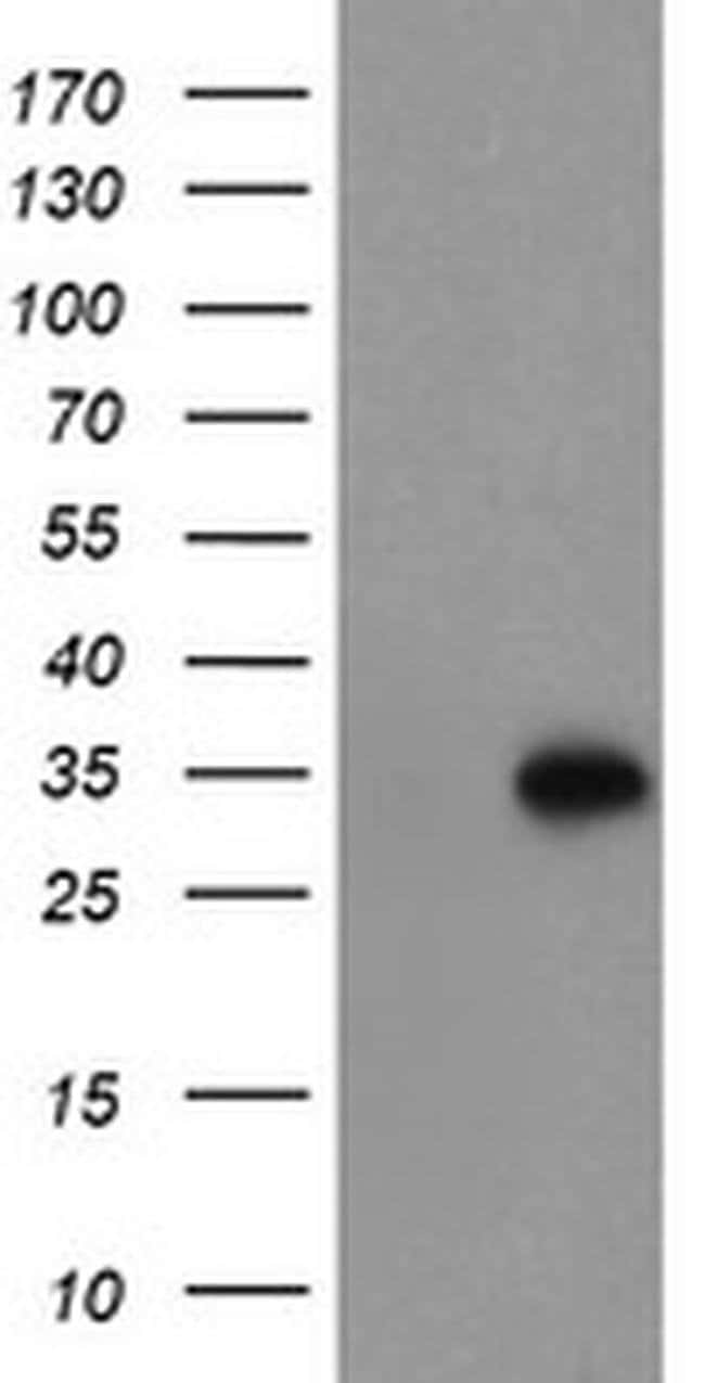 MLF1 Mouse anti-Human, Clone: OTI1B9, liquid, TrueMAB  100 µL; Unconjugated