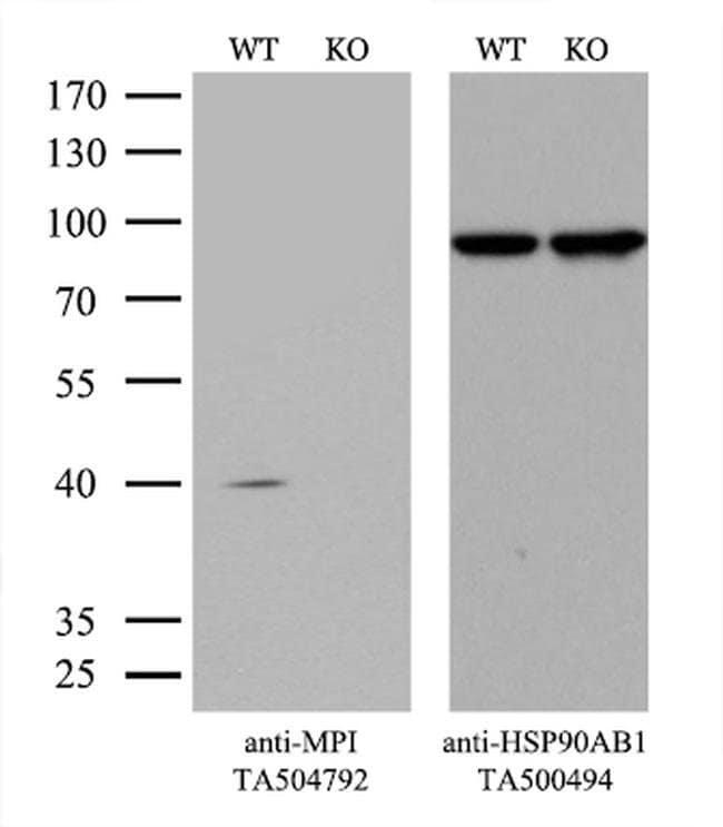 MPI Mouse anti-Human, Clone: OTI4E7, liquid, TrueMAB  100 µL; Unconjugated