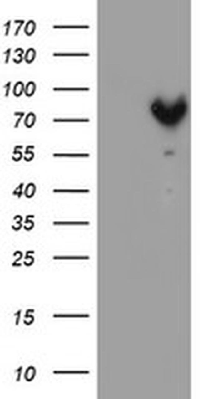 MPP5 Mouse anti-Human, Clone: OTI5E10, liquid, TrueMAB  100 µL; Unconjugated
