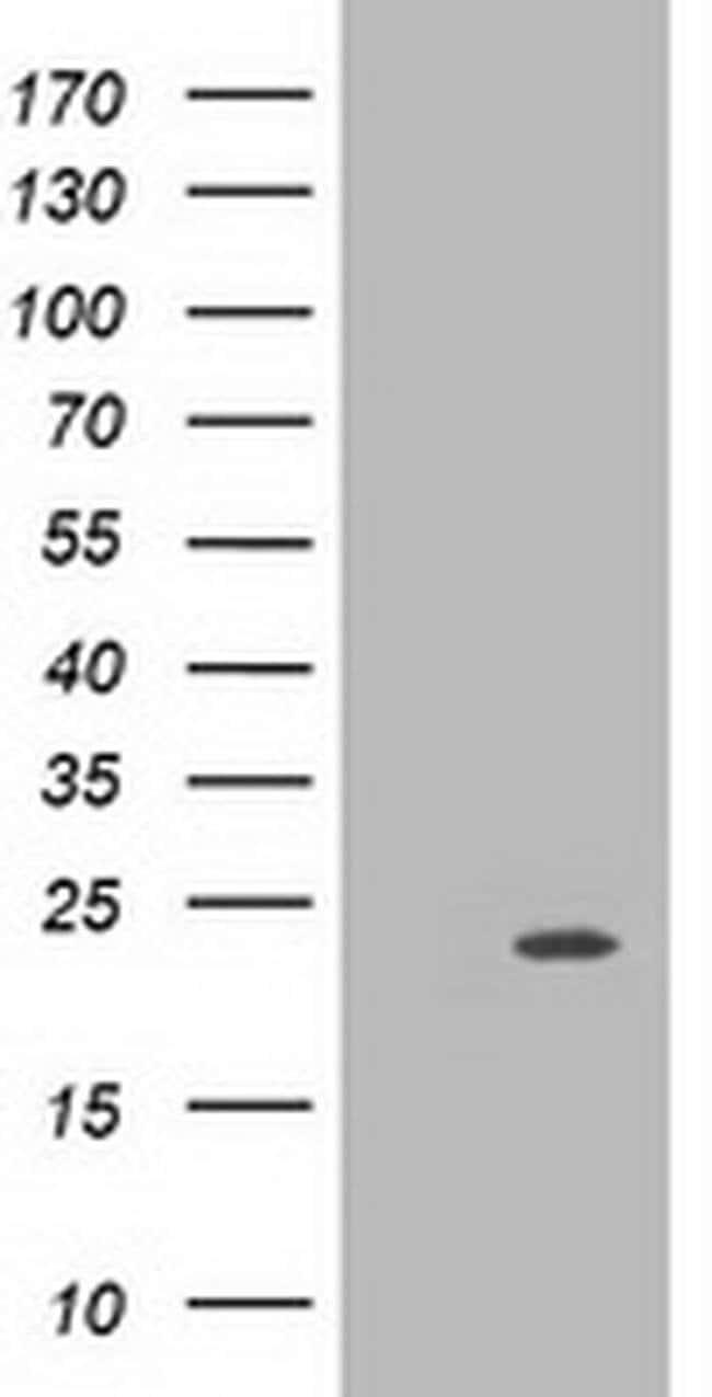 MRAS Mouse anti-Human, Clone: OTI3C4, liquid, TrueMAB  100 µL; Unconjugated