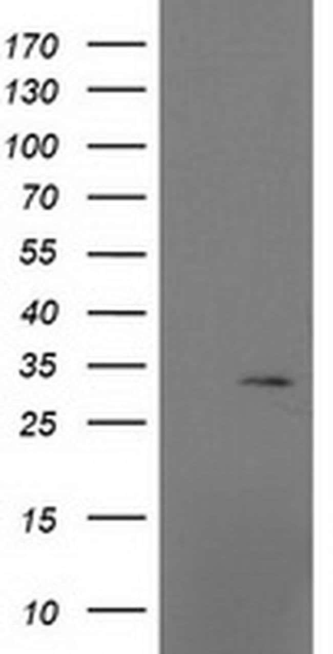 MRPS2 Mouse anti-Human, Clone: OTI4D6, liquid, TrueMAB  100 µL; Unconjugated