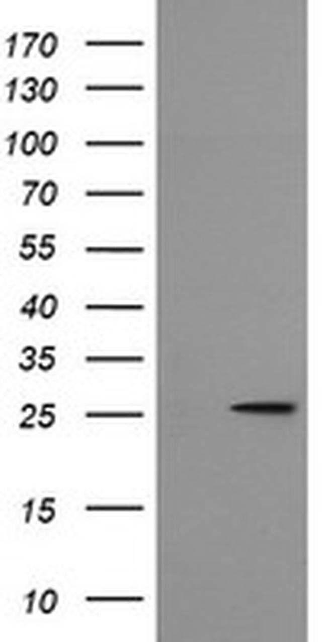 MRPS34 Mouse anti-Human, Clone: OTI4B9, liquid, TrueMAB  100 µL; Unconjugated