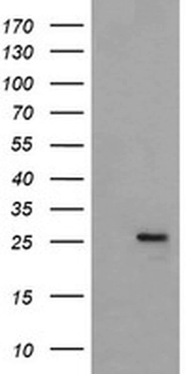 MRPS34 Mouse anti-Canine, Human, Clone: OTI4E8, liquid, TrueMAB  100 µL;