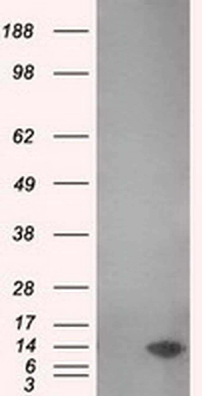 MSMB Mouse anti-Human, Clone: OTI6C7, liquid, TrueMAB  100 µL; Unconjugated