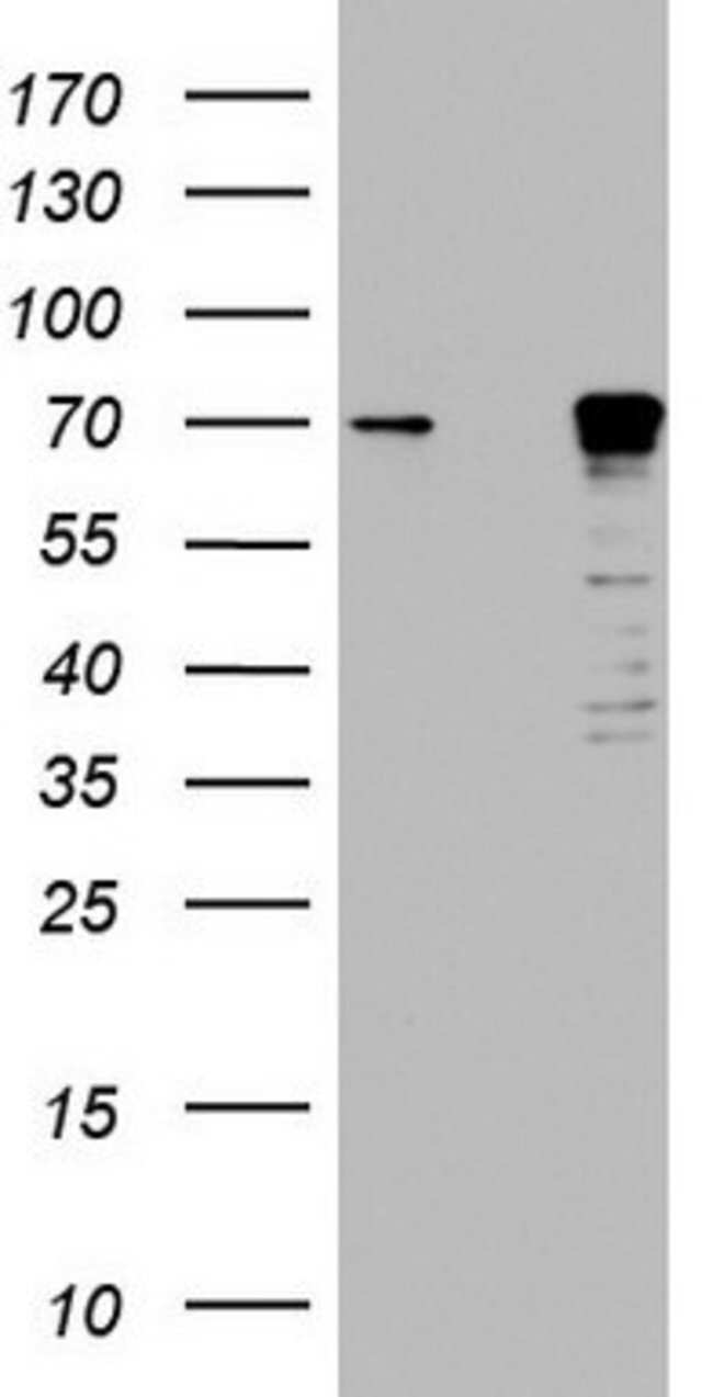 MTDH Mouse anti-Human, Clone: OTI1E7, lyophilized, TrueMAB  100 µg;