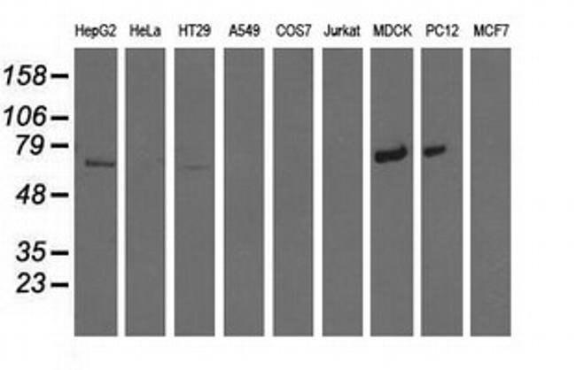 MTMR14 Mouse anti-Canine, Human, Rat, Clone: OTI6B6, liquid, TrueMAB  100
