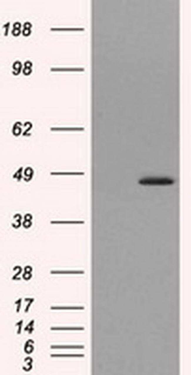 MTRF1L Mouse anti-Human, Clone: OTI1C5, liquid, TrueMAB  100 µL; Unconjugated