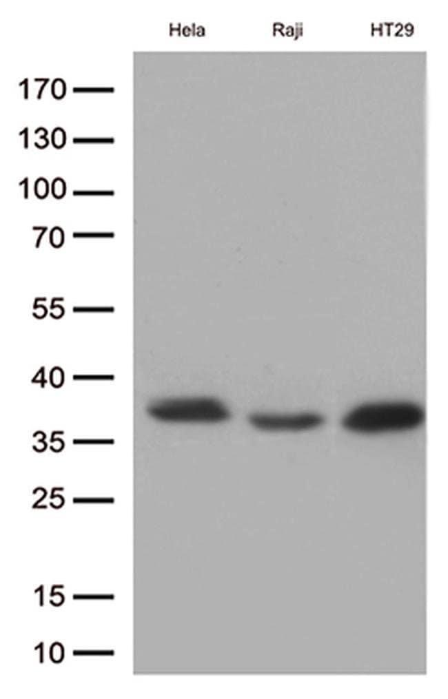 MYD88 Mouse anti-Human, Rat, Clone: OTI1B8, liquid, TrueMAB  100 µL;