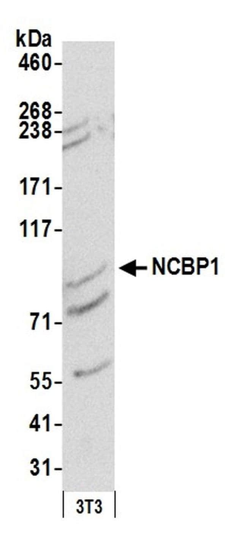 NCBP1/CBP80 Rabbit anti-Human, Mouse, Polyclonal, Bethyl Laboratories 100