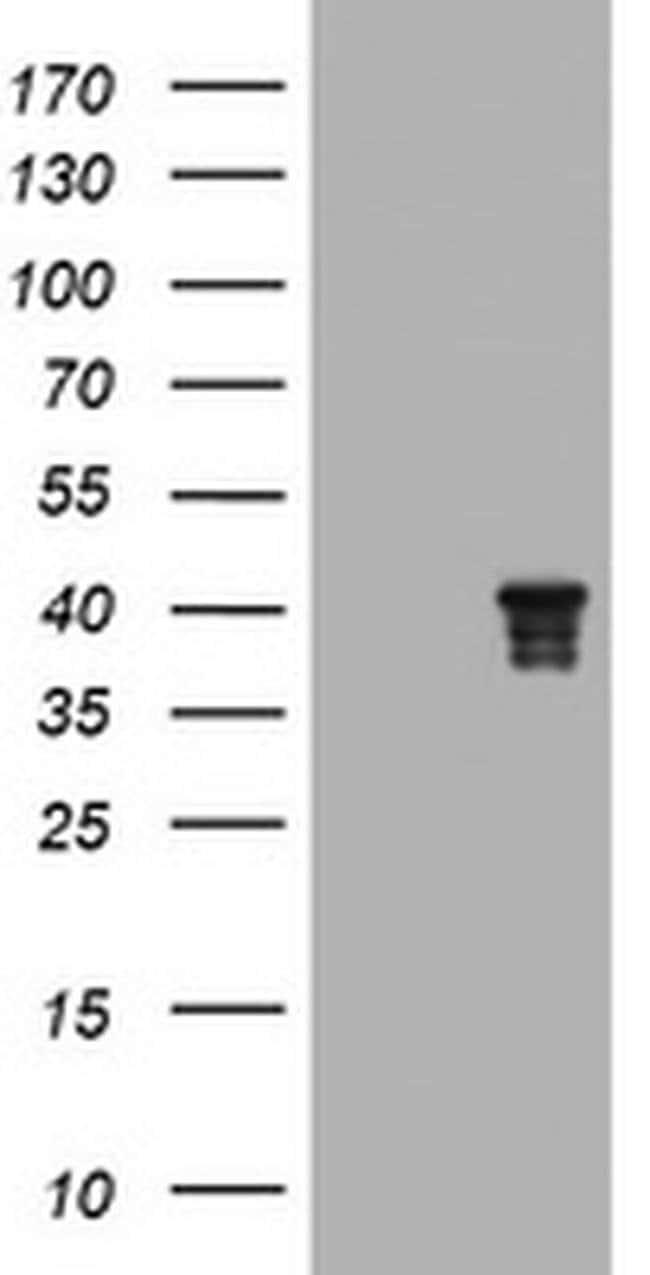 NDEL1 Mouse anti-Canine, Human, Mouse, Rat, Clone: OTI1G7, liquid, TrueMAB
