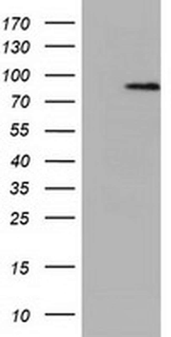 NEK11 Mouse anti-Human, Clone: OTI5E9, liquid, TrueMAB  100 µL; Unconjugated