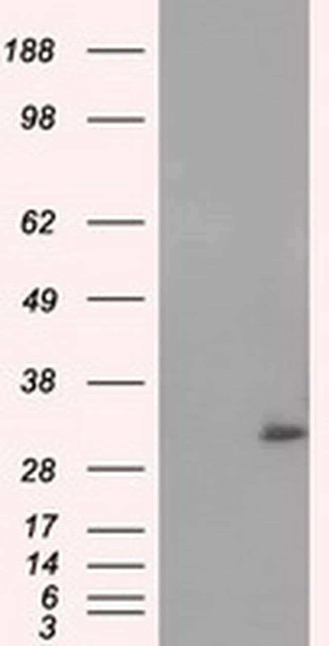 NIT2 Mouse anti-Human, Clone: OTI3F3, liquid, TrueMAB  100 µL; Unconjugated