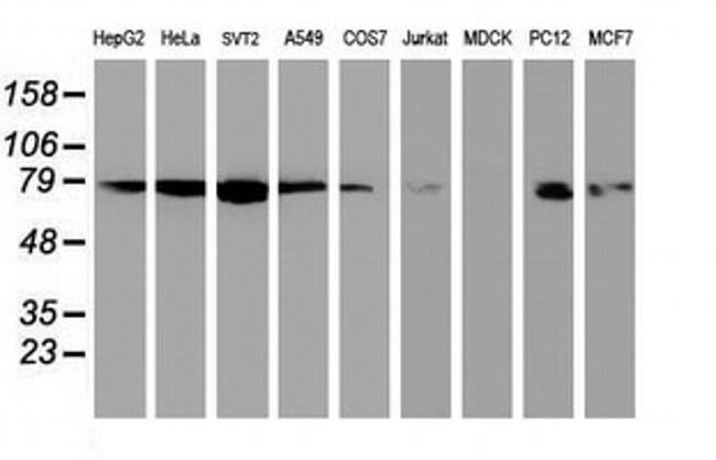 NLN Mouse anti-Human, Mouse, Rat, Clone: OTI2H1, liquid, TrueMAB  100 µL;