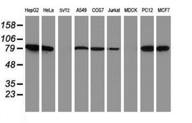NLN Mouse anti-Human, Rat, Clone: OTI3G8, liquid, TrueMAB  100 µL;